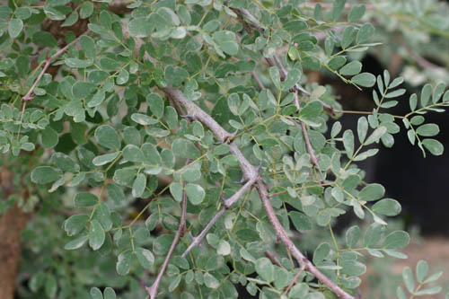 2 photos: Acacia goetzei ssp. goetzei, not a native of South Afr