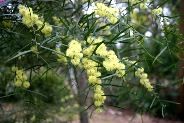 Acacia leprosa with nominate form (yellow) and red variant. Both in Maranoa Gardens, Victoria, 27.8.06