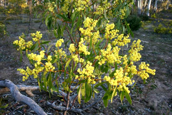 Kyoora State Park, Victoria, 30.8.06  Acacia pycnantha is the State flower of Victoria