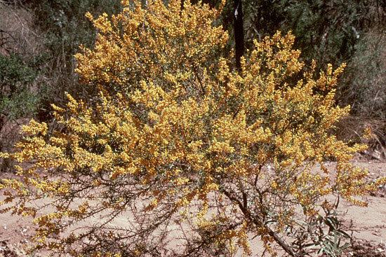 From the picture CD of the Acacia Study Group of the Australian Plant Society